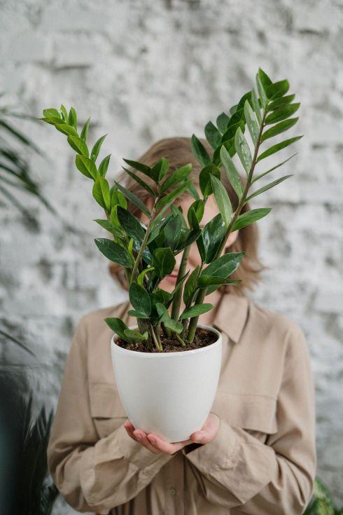 Kauf eines getopften Olivenbaums: Worauf ist zu achten?