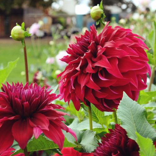 Dahlienknollen von The Blooming Company